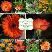 "Ten 8"" x 8"" Individual Orange Flower Photographs Set 1 - CU/PU"